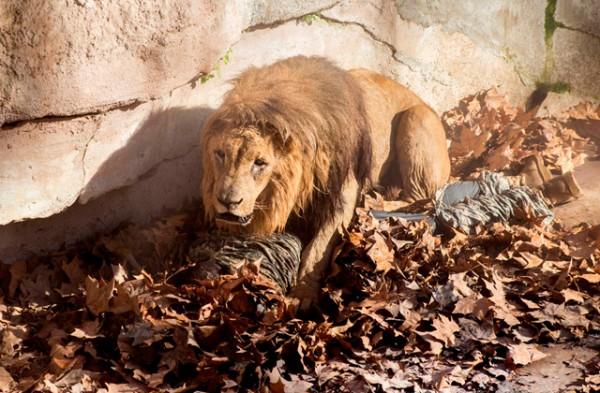 barzoolona-luchar-contra-leones-barcelona-1